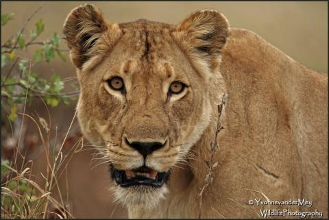 Lioness-portrait-copyright-YvonnevanderMey