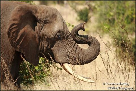Olifant-met-Sslurf-copyright-YvonnevanderMey