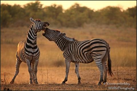 Zebra's-bekkend-copyright-YvonnevanderMey