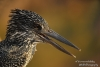 Giant-Kingfisher-close-copyright-YvonnevanderMey
