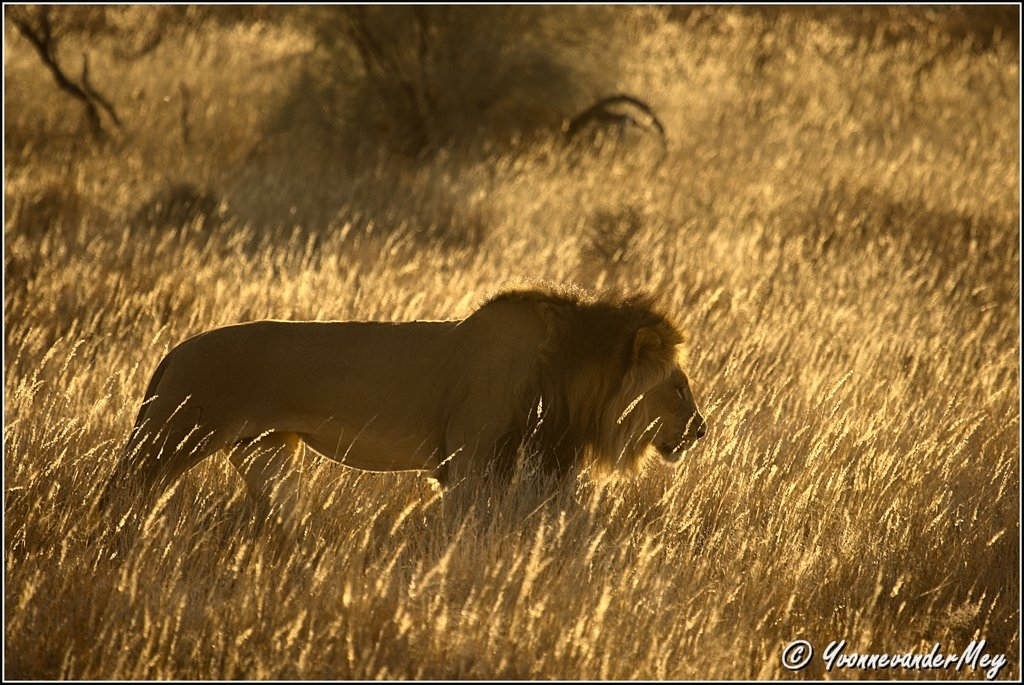The-King-in-the-morning-copyright-YvonnevanderMey.jpg