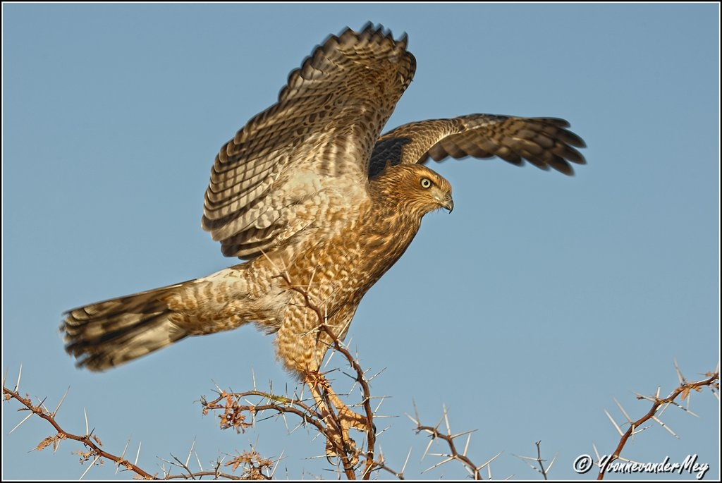 Bird-of-prey-copyright-YvonnevanderMey.jpg