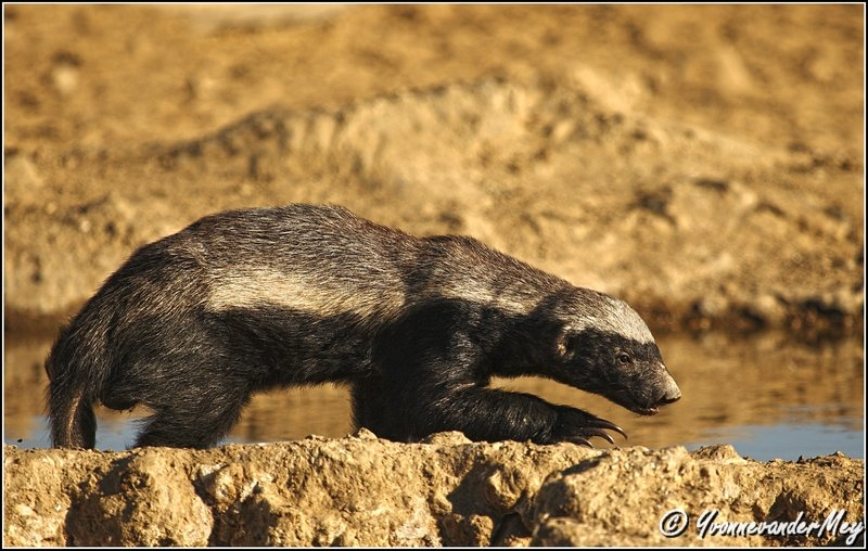 Honey-Badger-copyright-YvonnevanderMey.jpg