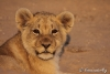 Young-lion-YvonnevanderMey.jpg