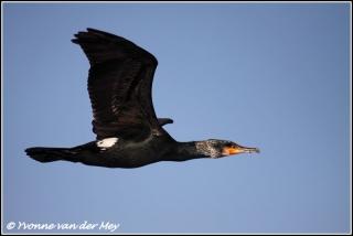 Aalscholver in vlucht / Cormorant in flight (Copyright Yvonne van der Mey)
