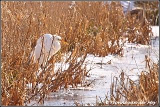 Grote zilverreiger / Great white egret (Copyright Yvonne van der Mey)