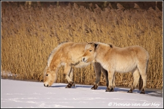 Konikpaarden in de wieden / Conickhorses in the wieden  (Copyright Yvonne van der Mey)