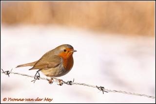 Roodborstje in sneeuw / Robin in snow  (Copyright Yvonne van der Mey)