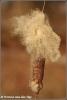 Pluizende lisdodde / Fluffy cattails  (Copyright Yvonne van der Mey)