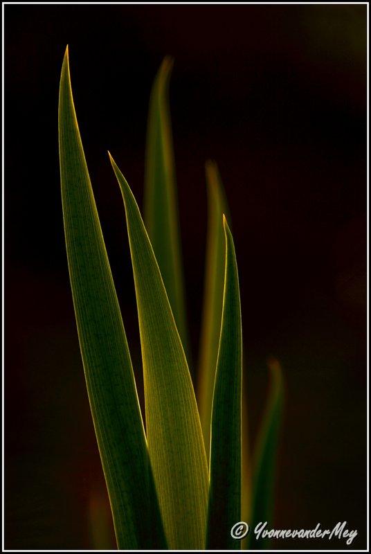 Bladeren-van-Lis-copyright-YvonnevanderMey