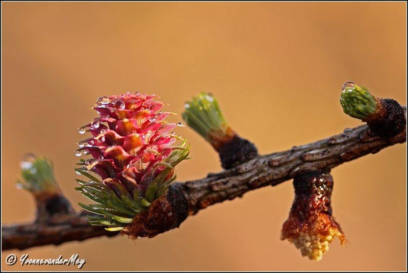 Bloeiende-Larix-met-waterdruppels-copyright-YvonnevanderMey