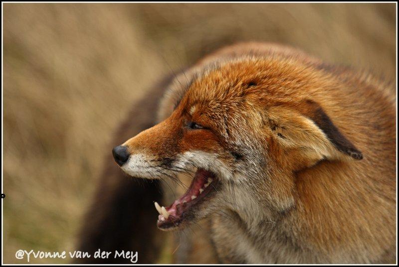 Vos-onderdanig-copyright-YvonnevanderMey
