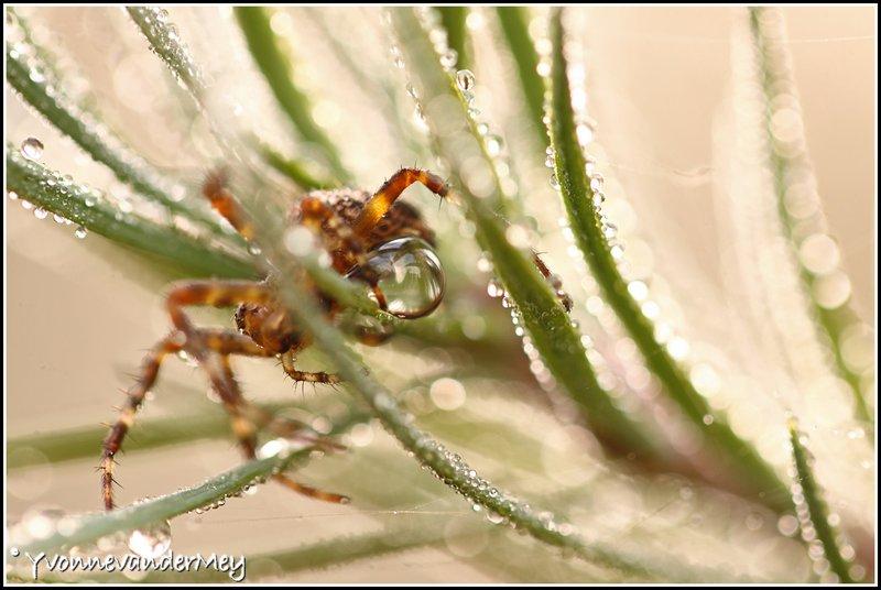 kruisspin-met-waterdruppel-copyright-yvonnevandermey