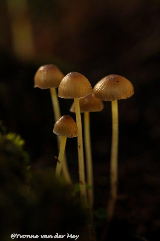 paddenstoelen-copyright-yvonnevandermey