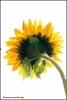 25-zonnebloem-in-highkey-copyright-yvonnevandermey