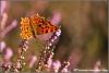 32-gehakkelde-aurelia-copyright-yvonnevandermey