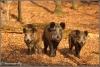 drie-wilde-zwijnen-in-bos-copyright-yvonnevandermey