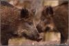 dubbel-portret-wildezwijnen-copyright-yvonnevandermey