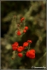 rood-bekermos-copyright-yvonnevandermey