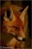 vos-in-het-zonnetje-copyright-yvonnevandermey