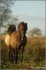 wilde-paarden-copyright-yvonnevandermey