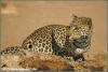 luipaardvrouwtje bij drinkplaats / leopard female near waterhole (Copyright Yvonne van der Mey)