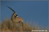 oryx (Copyright Yvonne van der Mey)