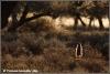 stokstaartje rontgenfoto / meerkat xray (Copyright Yvonne van der Mey)
