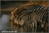 zebras bij drinkplaats / zebra near waterhole (Copyright Yvonne van der Mey)