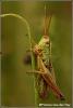 gouden-sprinkhaan-copyright-yvonnevandermey
