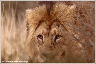 Leeuwopjacht / Lionhunting (Copyright Yvonne van der Mey)