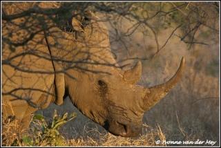 witte neushoorn vrouwtje / white female rino (Copyright Yvonne van der Mey)
