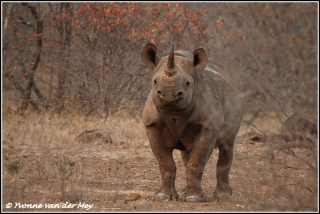 zwarte neushoorn waakzaam / blackrhino alert (Copyright Yvonne van der Mey)