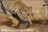 Luipaardvrouwtje drinkend / leopard female drinking (Copyright Yvonne van der Mey)