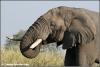 olifant drinkend / elephant drinking (Copyright Yvonne van der Mey)