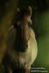 Wild-Koniks-horse-copyright-YvonnevanderMey