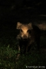 Overloper-wild-zwijn-in-staand-bijzonder-licht-copyright-YvonnevanderMey