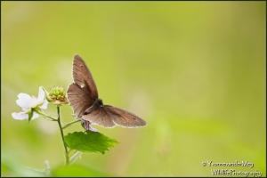Bruin-Zandoogje-copyright-YvonnevanderMey
