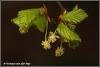 Bloeiende beuk / flowering beechtree (Copyright Yvonne van der Mey)