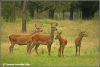 edelhert-hindes-reddeer-females-copyright-yvonnevandermey
