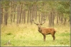 edelhert-in-bronsttijd-reddeer-in-rutting-season-cyopyright-yvonnevandermey