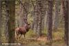 edelhert-in-nabronst-reddeer-after-ruttingseason-copyright-yvonnevandermey