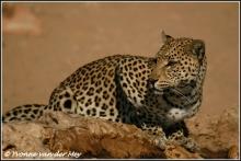 luipaardvrouwtje-female-leopard-copyright-yvonnevandermey
