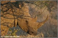 witte-neushoorn-white-rhino-copyright-yvonnevandermey