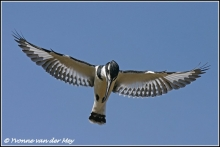 pied-kingfisher-in-full-flight-bonte-ijsvogel-in-vlucht-copyright-yvonnevandermey