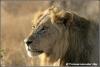 Mannetjes leeuw portret / Male lion portrait Copyright Yvonne van der Mey