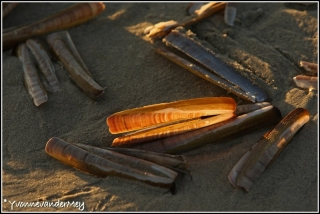 Mes-aan-zee-copyright-YvonnevanderMey