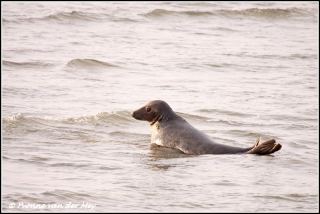 Grijze zeehond / Grey seal Copyright Yvonne van der Mey