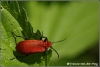 06-blad-met-roodkopvuurkever-copyright-yvonnevandermey