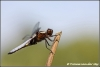 23-gewone-oeverlibel-blacktailed-skimmer-copyright-yvonnevandermey